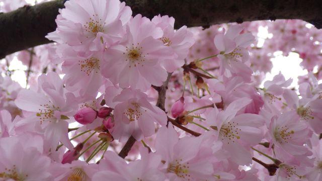 2017_03_21 Cerisier1