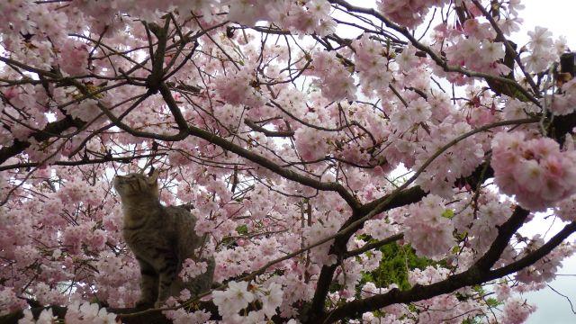 2017_03_21 Chat cerisier